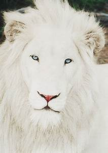 photography blue eyes pastel white lion albino albino lion ...