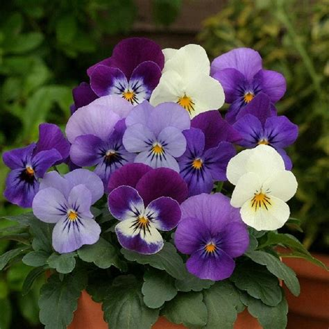 pansy flower pansy flowers in pots pixdaus
