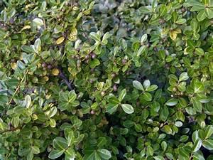 Ilex Crenata Krankheiten : berg ilex 39 green lustre 39 ilex crenata 39 green lustre 39 baumschule horstmann ~ Orissabook.com Haus und Dekorationen