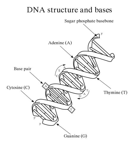 dna structure  bases coloring page  printable
