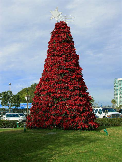 file poinsettia tree jpg wikipedia