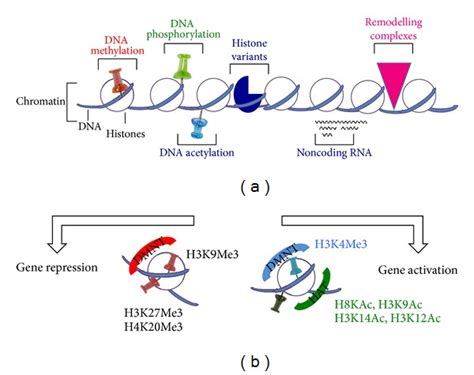 Modification To Dna by Scheme Of Histone And Epigenetic Modifications A