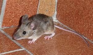 Maus Im Haus : maus im haus foto bild tiere wildlife s ugetiere ~ A.2002-acura-tl-radio.info Haus und Dekorationen