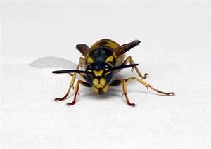 Wespen In Der Wohnung : nat rlich ungebetene g ste wespen in der wohnung ~ Whattoseeinmadrid.com Haus und Dekorationen