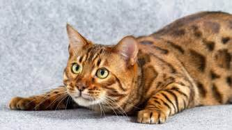 bengal cat images bengal cat cats animals