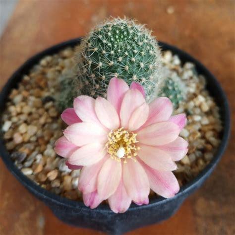 แคคตัส รีบูเทียสีชมพู Rebutia Carnival Cactaceae   Shopee ...