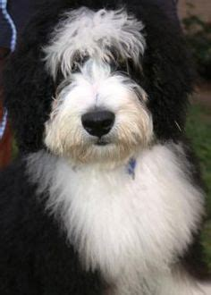 image result  bernedoodle haircuts