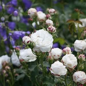Boule De Rose : buy rose boule de neige bourbon rosa 39 boule de neige 39 delivery by crocus ~ Teatrodelosmanantiales.com Idées de Décoration