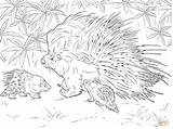 Porcupine Coloring African Crested Pages Printable Animals Baby Porcupines Template Drawing Safari Drawings Cute Designlooter Realistic Animal American Version 900px sketch template