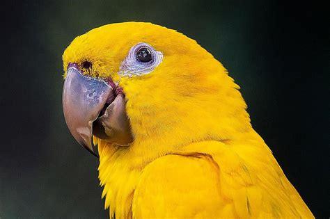 golden conure golden conures as pets species profile