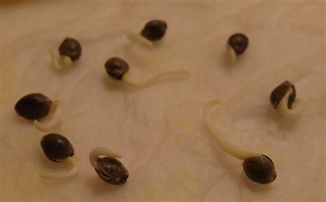 le cycle de vie de la graines de
