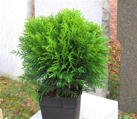 thuja occ danica kugeliger zwerg lebensbaum