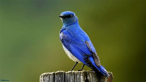 Dry Blue Bird Wallpapers  1600x900 232047