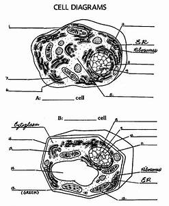 12 Best Images Of Animal Cell Worksheet Answers