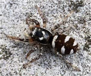 Weiße Spinne Deutschland : salticus scenicus wiki der arachnologischen gesellschaft e v ~ Orissabook.com Haus und Dekorationen