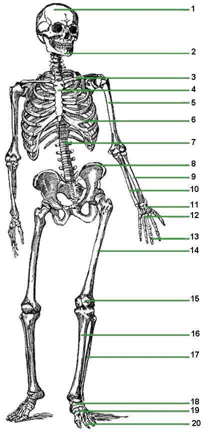 skeletal system flashcards  proprofs