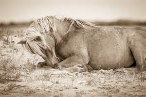 Outer Banks Wild Horses Photography