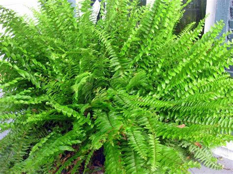 fern care outdoor how to divide conquer the boston fern