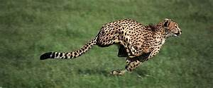 Cheetah Running Speed