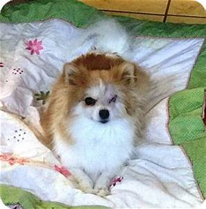 Las vegas nv pomeranian meet lucy a dog for adoption for Dog rescue las vegas nv