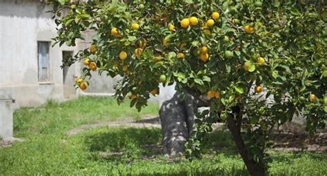 citronnier plantation r 233 colte et entretien le journal du jardin