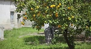 Tailler Un Citronnier : comment tailler un citronnier digpres ~ Melissatoandfro.com Idées de Décoration