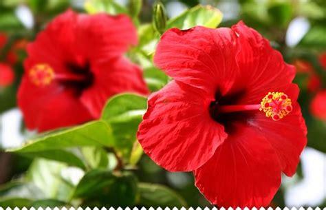 hibiscus en pot a l exterieur hibiscus rosa sinensis planter entretenir avec jaime jardiner