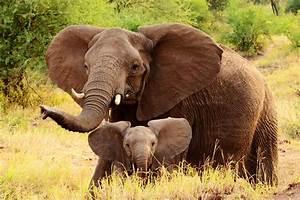 Слончетата също имат грижовни баби | Икар Прес