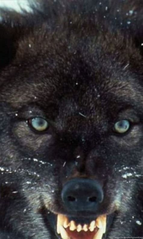 Angry Wolf Wallpaper Black by Dogs Angry Black Wolf Teeth Desktopnexus Best Wallpapers