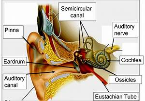 Functions Of Ear