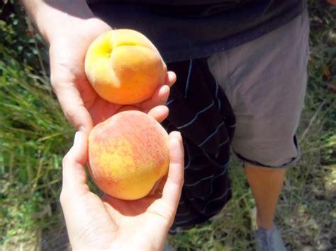Schnepf Farms Peach Festival Scratch Stef