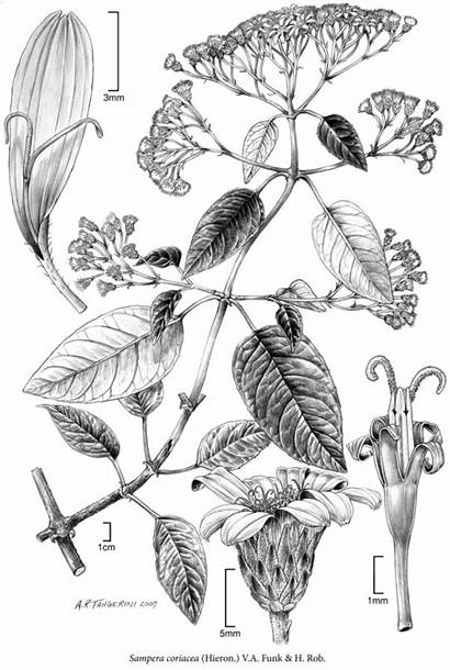 Illustration Scientific Botanical Alice Botany Science Natural