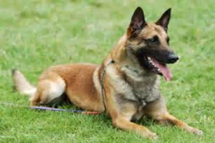 belgian shepherd malinois temperament breeds picture