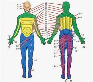 Dermatomes And Myotomes  Upper  U0026 Lower Limb  U00bb How To Relief