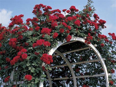 support rosier grimpant support de plante grimpante types et prix ooreka