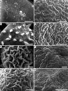 Sem Views Of Pollen Grains Showing Ornamentation Of Sexine