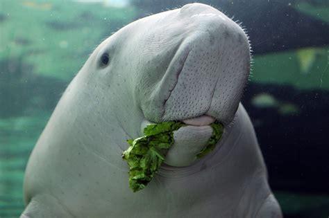 Dugong Or Sea Cow (dugong Dugong). Sydney Aquarium