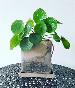 Pilea Peperomioides Growing Instructions  U0026 Guide Download