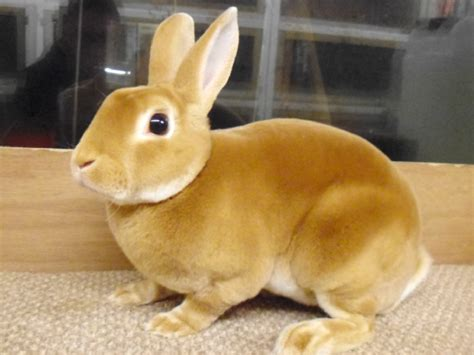 mini rex colors how to care for a rabbit your ultimate guide