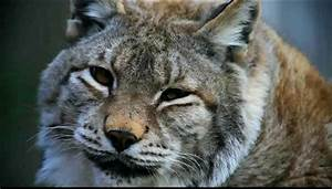 North American Bobcat Pictures