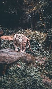 White Tiger iPhone Wallpaper | Tiger photography, Animal ...
