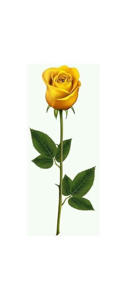 Rose Yellow Roses Clip Clipart Stem Transparent