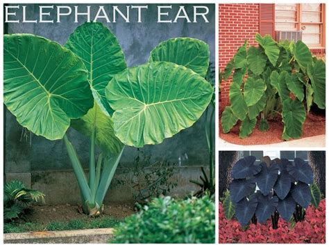 how to grow elephant ears ten bulbs to plant in the spring for summer garden color container b
