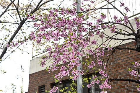 Free Images : tree flower spring branch pink woody