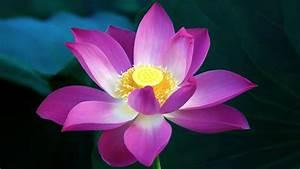 Purple Lotus Flower Wallpaper in HD 1080p | HD Wallpapers ...