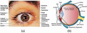1  External Anatomy Of Eye  A  Frontal View  B Side View