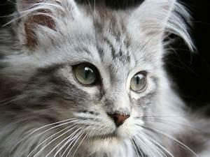 Katze Im Haus Halten : die teuersten katzenrassen der welt ~ Lizthompson.info Haus und Dekorationen