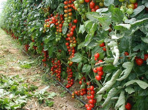 nuovo virus  sicilia che attacca le piante  pomodoro