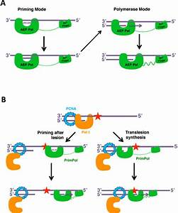 Models Of The Mechanisms Of Action Of Primpol    A