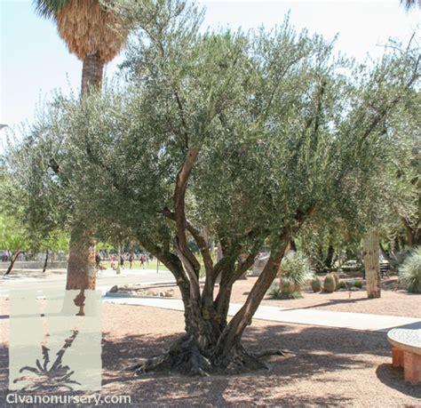 olive wilsonii fruitless olive olea europaea wilsonii civano nursery
